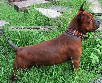 The Chongqing (pronounced: chong ching) dog is a natural breed from Chongqing, China dating back to the Han Dynasty over 1700 years ago.